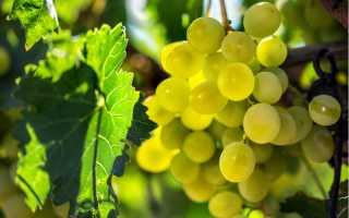 Виноград Гарольд: описание сорта, фото и отзывы садоводов