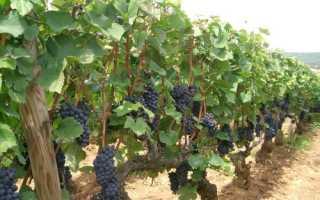 Виноград Леон Мийо: описание сорта, фото и отзывы садоводов
