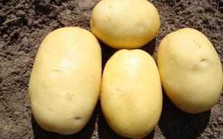 Картофель Вега — описание сорта, фото, отзывы, посадка и уход