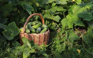 Как вырастить хороший урожай огурцов?