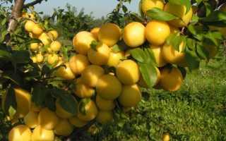 Алыча Приморская — описание сорта, фото и отзывы садоводов