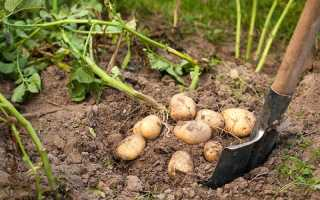 Когда копать картошку по лунному календарю?