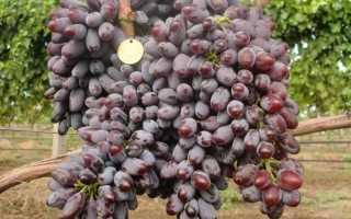 Виноград Юпитер: описание сорта, фото и отзывы садоводов