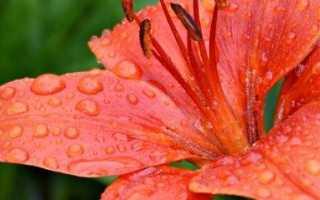 Уход за лилиями после цветения: когда проводить обрезку, пересадку и другие нюансы