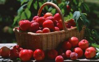 Алыча Грузинская — описание сорта, фото и отзывы садоводов