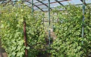Как выращивать виноград в Подмосковье?