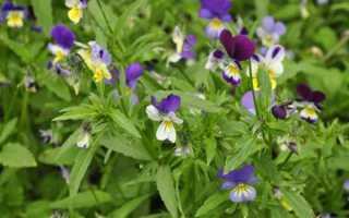 Фиолетовый триколор лечебные свойства и противопоказания