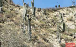 Цефалоцереус старческий (Cephalocereus senilis) – описание, выращивание, фото | на