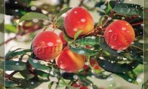 Персик Пушистый Ранний — описание сорта и отзывы садоводов