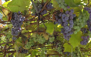 Обрезка винограда в Сибири летом
