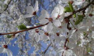 Уход за алычей весной