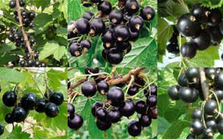 Лучший вариант: черная смородина 15 сортов большого, высокопроизводительного Веселый урожай