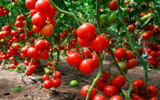 Ультраранние сорта томатов для теплиц