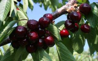 Аннушка вишня: описание сорта, фото, отзывы