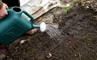 Нужно ли полить чеснок после посадки осенью?