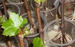 Как размножить виноград черенками?