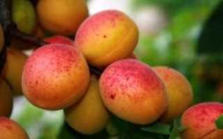 Посадка абрикоса осенью