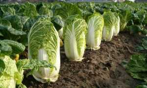 Когда собирать урожай пекинской капусты?