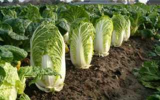 Как вырастить китайскую капусту?
