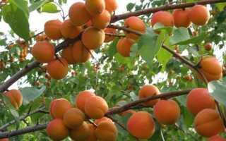 На что можно привить абрикос и как это сделать