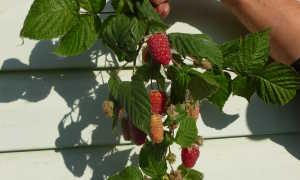 Лучшие сорта малины для Ленинградской области с описанием и фото