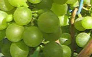 Виноград Краса Севера: описание сорта, фото и отзывы садоводов