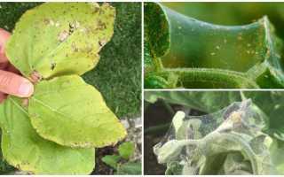 Как избавиться от паутинного клеща на баклажанах в теплице?