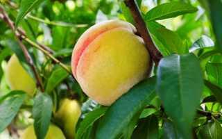 Можно ли привить на алычу персик?