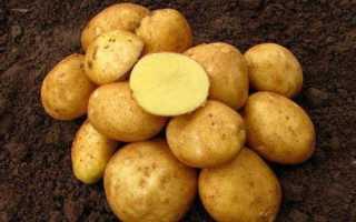 Картофель Винета — описание сорта, фото, отзывы, посадка и уход
