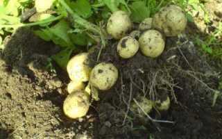 Сорта картофеля для Средней полосы России с описанием