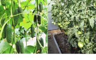 Можно ли в одной теплице выращивать огурцы и помидоры?
