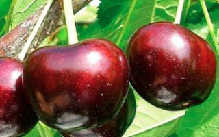 Крупноплодные сорта черешни