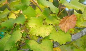 Желтеют листья у винограда — что делать?