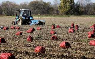 Популярные сорта картофеля в Белоруссии