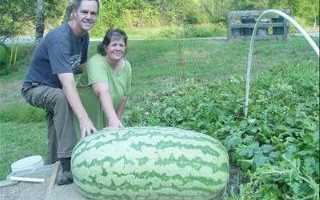 Описание и выращивание зимнего арбуза Холодок