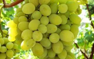 Виноград Плевен: описание сорта, фото и отзывы садоводов