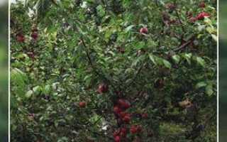 Гибриды алычи и абрикоса