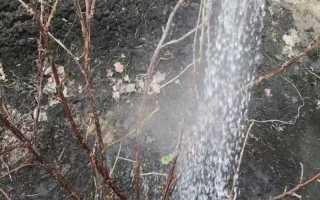 Нужно ли весной обливать крыжовник горячей водой?