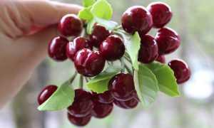 Черешня Рекорд — описание сорта, фото, отзывы садоводов
