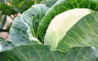 Надо ли обрывать нижние листья у капусты и когда?