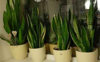 Цветок сансевиерия (тещин язык): уход в домашних условиях, размножение, родина растения