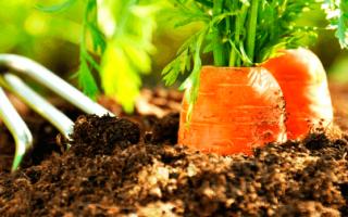 Благоприятные дни для посева моркови в 2021 году: дедлайн