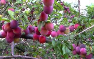 Самоплодные сорта алычи