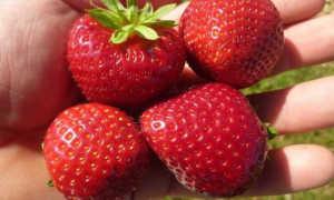 Земляника Деройял: выращивание, описание сорта, фото и отзывы