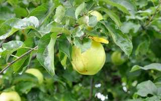 Какой сорт яблони лучше посадить?