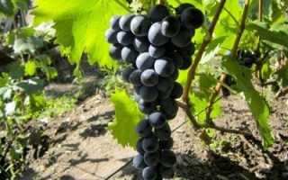Виноград Ливадийский Черный: описание сорта, фото и отзывы садоводов