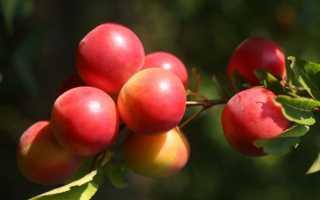 Осенняя обрезка алычи