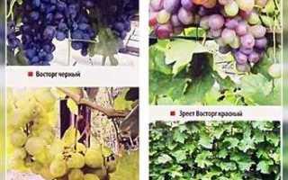 Выращивание винограда и уход в Татарстане