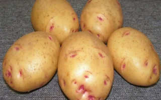 Картофель Аврора — описание сорта, фото, отзывы, посадка и уход