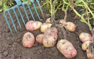Какая должна быть глубина посадки картофеля?